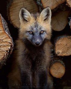"beautiful-wildlife: ""Cross Fox by © bkcrossman """