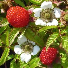 Sorte Die Erdbeer-Himbeere, ihrer Herkunft entsprechend auch Japanische Himbeere genannt, ist ein beeindruckender Strauch: sowohl ihre schönen, weißen Blüten, als auch die leuchtend roten Früchte, sind ungewöhnlich groß. Die Beeren erinnern in Form und Größe etwas an Erdbeeren, es handelt sich bei dieser Art aber um keine Kreuzung. Neben den lieblichen Beeren können auch die gefiederten Blätter für Tee verwendet werden. Bei der Ernte und Pflege muss man nur etwas auf die kleinen Widerhaken… Strawberry, Fruit, Crop Rotation, Ground Cover Plants, Compost, Nth Root, Harvest, Raspberries, Interesting Facts