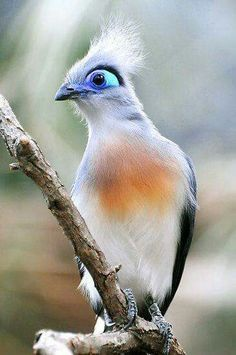 Crested coua, an exotic bird from Madagascar, Africa