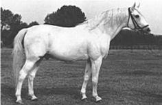 Ramzes, semental angloárabe que mejoró la raza de caballos de sangre caliente alemanes