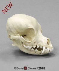 Deer Head Chihuahua Skull - Bone Clones, Inc. Dog Skull, Wide Set Eyes, Dog Mask, Small Skull, Bone Color, Animal Bones, Head Shapes, Skull And Bones, Primates