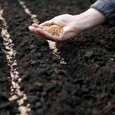 Sowing for Success Vegetables can be sown from seed in one of three ways: Directly in the ground where they are to grow to maturity. Seeds, Vegetables, Gardening, Lawn And Garden, Vegetable Recipes, Veggies, Horticulture