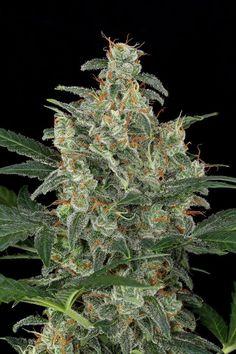Cheese Autoflowering Cannabis seeds Dinafem. Cheese autofloreciente semillas de Dinafem. #DinafemSeeds #Seeds #Cannabis #Marijuana #Marihuana #Semillas #Autoflowering #Autoflorecientes
