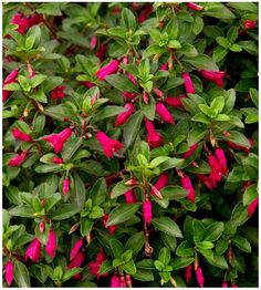 37 best flowering shrubs images on pinterest flowering bushes dollys dress fuchsia long lasting bright pink tubular flowers appear in summer and mightylinksfo