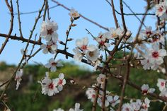 Almond tree detail
