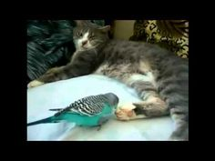 Parrot annoys cat. FUNNY