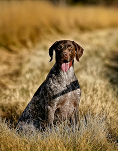 Image of: Puppies Well Now What Would Little Ole Plantation Cottage Do Without Bird Dog Huffpost 81 Best Bird Dogs Images Hunting Dogs German Shorthaired Pointer