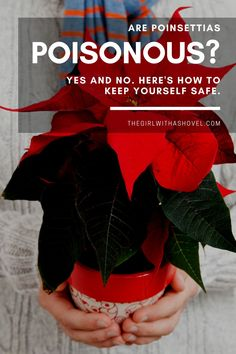 Poinsettias aren't poinsonous in the traditional way… instead, they can cause harm in a way that most people wouldn't be looking for… read this post about poinsettia toxicity to know exactly how to keep your family and loved ones safe this winter! #poinsettiatree #holidayfloral Best Indoor Plants, Air Plants, House Plants Decor, Plant Decor, Poinsettia Plant, Crescent Recipes, All About Plants, Apartment Plants, Low Light Plants