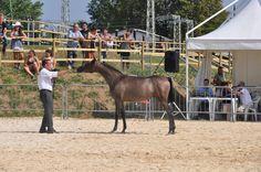 primo concorso nazionale Puro Sangue Arabo - Anica Ecaho - organizzato da Promoberg in occasione della Fiera di Sant'Alessandro Bergamo - le fasi della valutazione