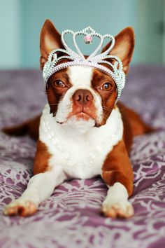 Red boston terrier princess