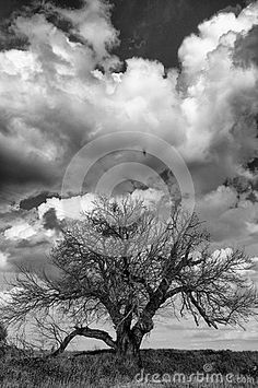 An ancient mulberry tree in the Italian countryside while some clouds pass on the back. Mulberry tree o  morus is a typical tree of the Southern Europe and in the past it was used in the cultivation of the silkworms to make silk. The image talks about peace and magical mood