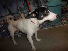 Parson Russell Terrier dog for Adoption in Modesto, CA. ADN-409860 on PuppyFinder.com Gender: Male. Age: Adult