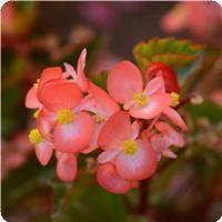 BabyWing™ Bicolor Begonia - heat tolerant