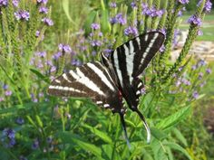 Zebra Swallowtail butterfly drinking nectar from blue vervain