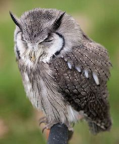owls | White-faced Scops Owl
