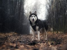 Dog breed husky. Portrait of a dog on a country road in the woods by Kozorog on @creativemarket