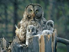 Owl and her owlets