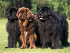 Newfoundland Dogs   by Adriano Bacchella someday I will be the crazy dog lady...muwahahahaha