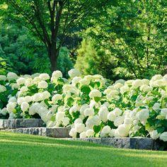 breathtaking Annabelle Hydrangea hedge, from Alice Waters