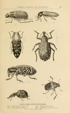 Forest insects of Australia / - Biodiversity Heritage Library