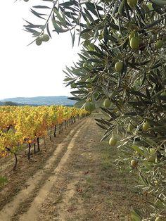 Automne en provence : la vigne jaunit et les olives ramollissent ! (par gab113)