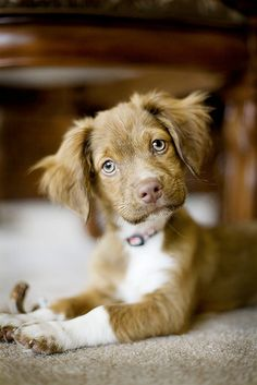 looks similar to a Nova Scotia Duck Tolling Retriever, but isn't. maybe Australian Shepherd??