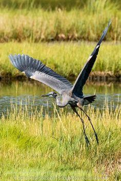 Great Blue Heron Liftoff by paulsikorski #nature #mothernature #travel #traveling #vacation #visiting #trip #holiday #tourism #tourist #photooftheday #amazing #picoftheday