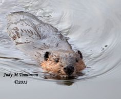 Beaver in the Thames by Judy M Tomlinson Photography  #beaver #Thames