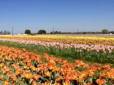 Pilot Point tulip field is a first in Texas