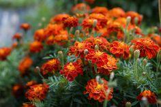 Φυσικά εντομοαπωθητικά -7 φυτά εσωτερικού και εξωτερικού χώρου που διώχνουν τα κουνούπια   GREEN   iefimerida.gr Plants That Repel Ants, Cool Plants, Outdoor Plants, Outdoor Gardens, Outdoor Spaces, Plants Around Pool, Ant Insect, Marigold Flower, Annual Flowers