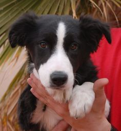 Aurora is a very lovable Border Collie puppy debuting for adoption today at Nevada SPCA (www.nevadaspca.org).  She was found near a very busy intersection, on her own, with no sign of responsible ownership (no ID tag, no microchip ID, not spayed).  Aurora needs and deserves a responsible, stable home where she will get all of the kind guidance she needs to develop into a well-adjusted, well-balanced adult.   Aurora is 5 months of age, good with other dogs, and now spayed.