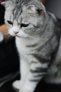 Scottish Fold..I want