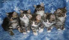 Kitten Album D Siberian Kittens, Album, Cats, Animals, Gatos, Animales, Animaux, Animal, Cat