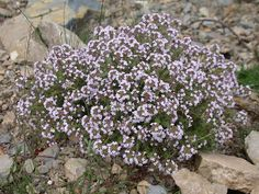 Thyme (Thymus vulgaris) - Native to Mediterranean and Asia Minor.  Acquired through steam distillation of flowering tops. White (refined) and Red (crude) varieties produced.  Herbaceous odor.