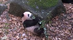 かけっこ早くなったでしょー 上野動物園 ジャイアントパンダ・シャンシャンの近況を公開 (l_kh_171226panda04.jpg) - ねとらぼ