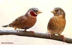 The Cutthroat Finch - Amadina fasciata