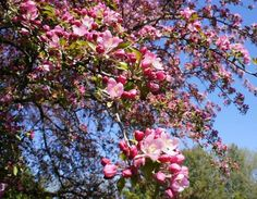 Stratford :: Flowering Crab Tree found in Shakespeare Gardens :: Ontario Photos, Canada :: Deciduous Trees, Trees And Shrubs, Flowering Trees, Alpine Tree, Native Canadian, Fast Growing Trees, Spring Tree, Spring Is Coming