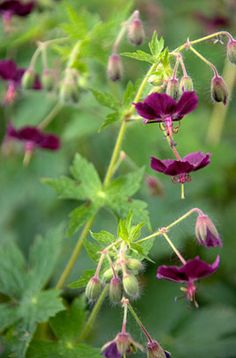 Geranium phaeum. H0.5-1m. evergreen. full sun. part shade. full shade.