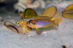 "Lamprologus ocellatus ""gold"", Lake Tanganyika, Africa"