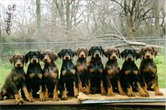 doberman puppies   or maybe a baby Angie.....