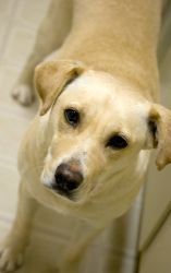 Chloe ~ Now Available! is an adoptable Labrador Retriever Dog in Thomasville, NC. Chloe is a three year-old lab mix who was saved off the streets by a Good Samaritan. She is well-mannered, laid back, ...