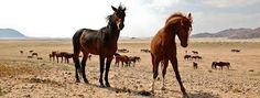 Wild horses in Namibia