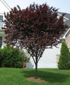 trees with burgundy leaves | Purple Leaf Plum Tree