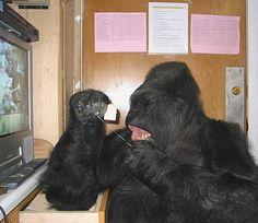 Koko looks into a tiny mirror as she flosses her teeth.  May2004