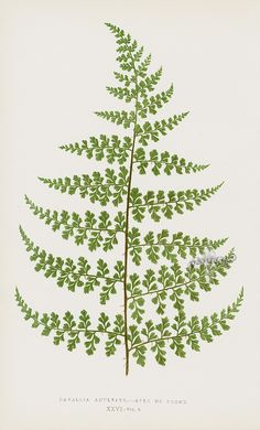 Lowe Antique Prints of Ferns 1856