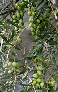 Olive nel Sinis - foto Guido Frilli #guidofrilli - Nikon D750 + Tamron 160/600 mm. f/5-6.3 - 10 Ott. 2015 ore 17:40 - f/6 1/2500 sec. ISO 8000 a 350 mm.