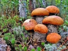 Growing Mushrooms, Wild Mushrooms, Stuffed Mushrooms, Beautiful Nature Pictures, Beautiful Flowers, Mushroom Pictures, Slime Mould, Plant Fungus, Edible Mushrooms