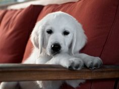 English White Golden Retriever Puppy