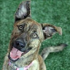Violet is an adoptable Catahoula Leopard Dog Dog in Dallas, TX.  Primary Color: Brindle Weight: 36.6 Age: 0yrs 8mths 1wks  Animal has been Spayed...