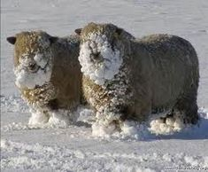 Sheep with snowstach